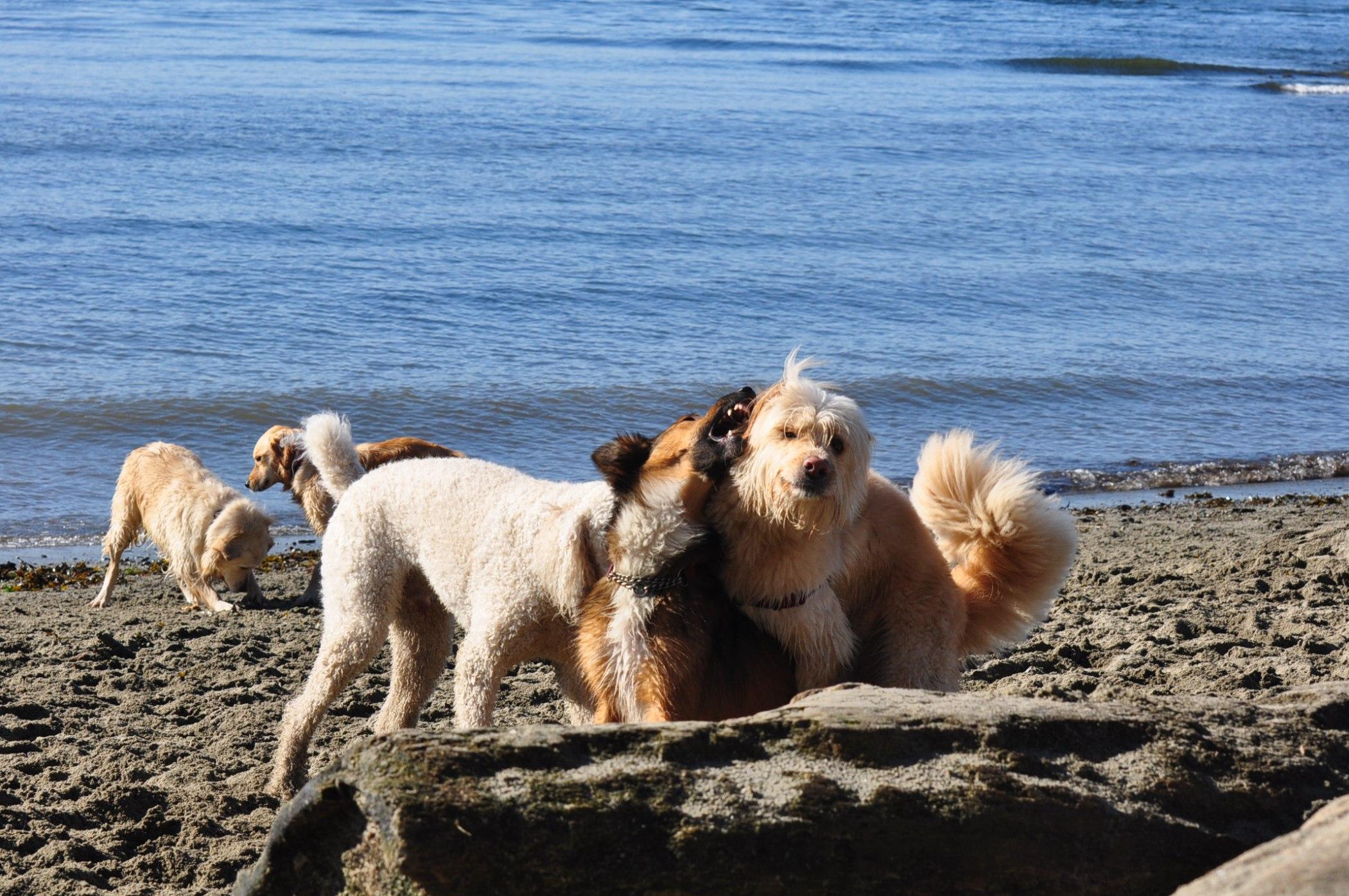 海边玩耍的狗