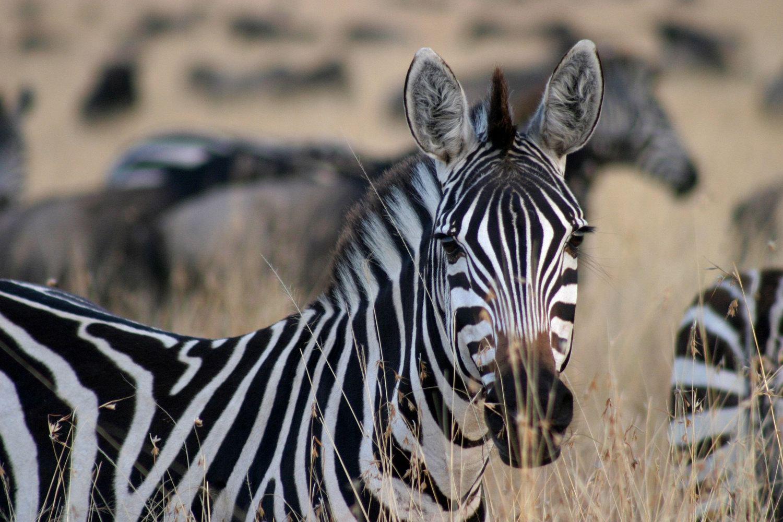 非洲风情--肯尼亚动物大迁徙摄影创作