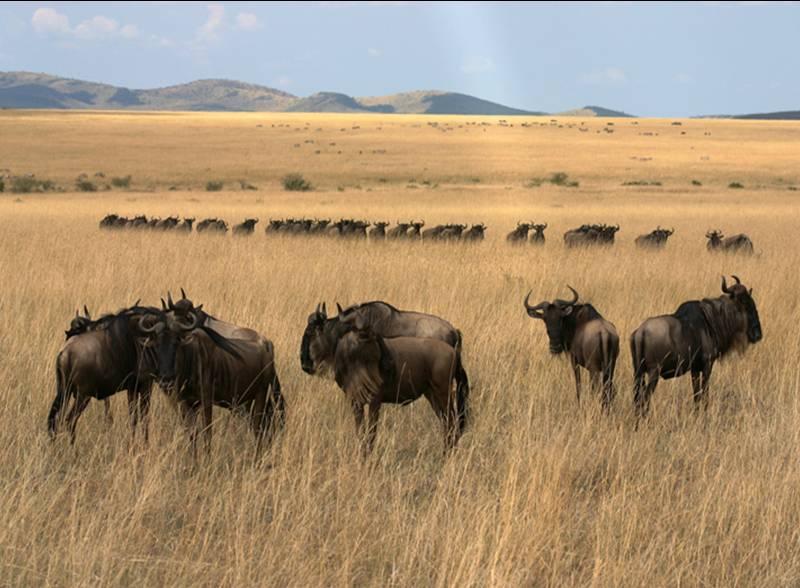 风情--肯尼亚动物大迁徙摄影创作